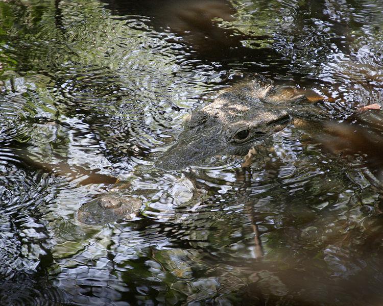 8b Ecological Niche of Crocodiles