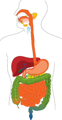 2b Human Digestive System